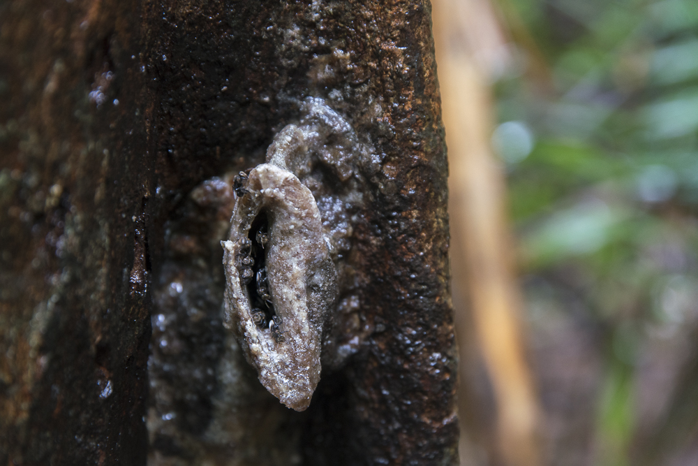 Bienennest im Bako Nationalpark © PhotoTravelNomads.com