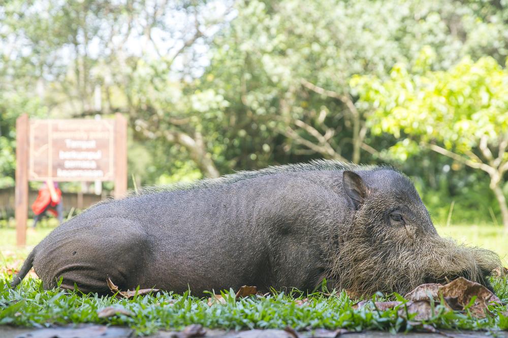 Wildschwein im Bako Nationalpark © PhotoTravelNomads.com