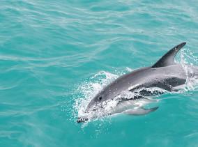 Delphin Encounter Kaikoura Delphinschwimmen © PhotoTravelNomads