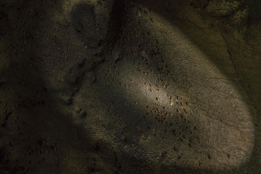Kakerlaken in der Gomantong Cave © PhotoTravelNomads.com