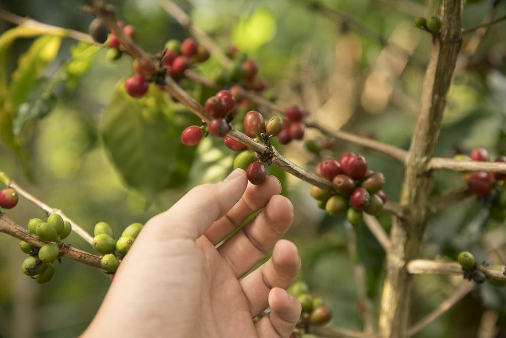 Reife und unreife Arabica Kaffeebohnen in Laos