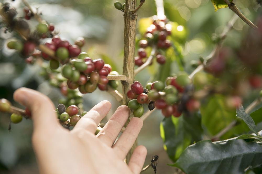 Grüne Kaffeebohnen sind noch nicht reif