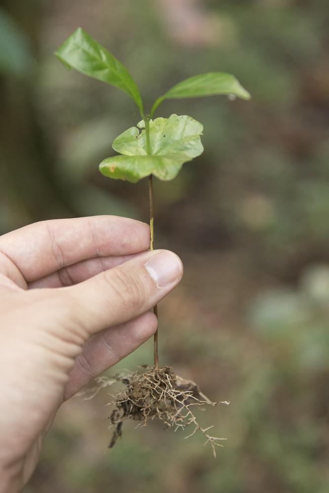 Arabica Pflanze