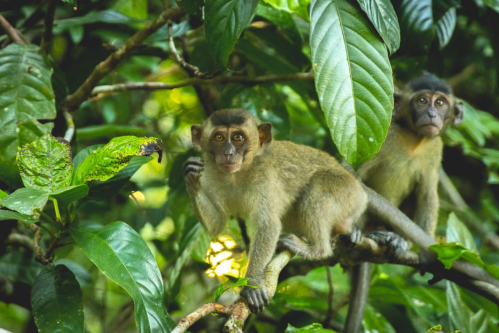 Macaque Monkey Kinabatangan River Cruise - Osman Homestay © PhotoTravelNomads.