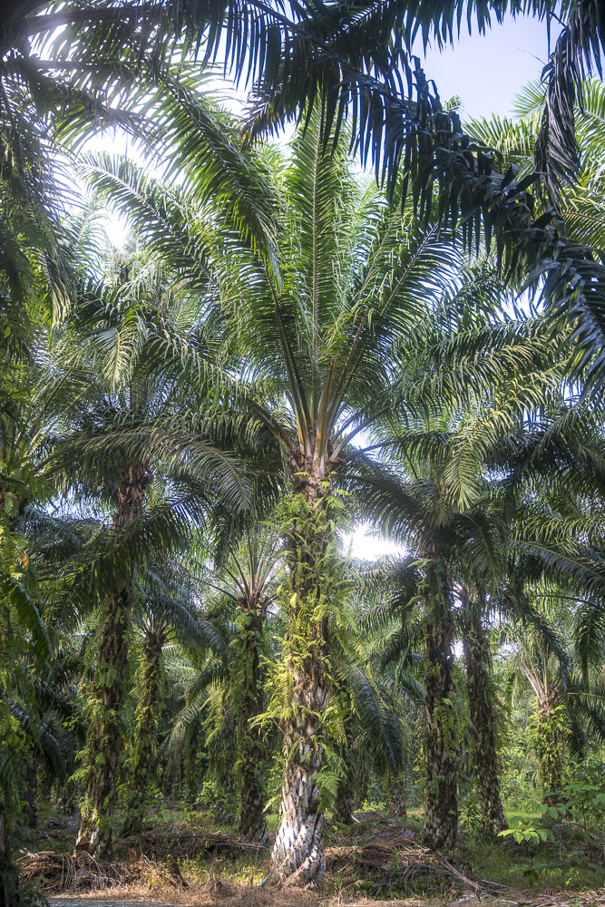 Palmen Öl Palm Tree Mill Sukau Borneo ©PhotoTravelNomads.com