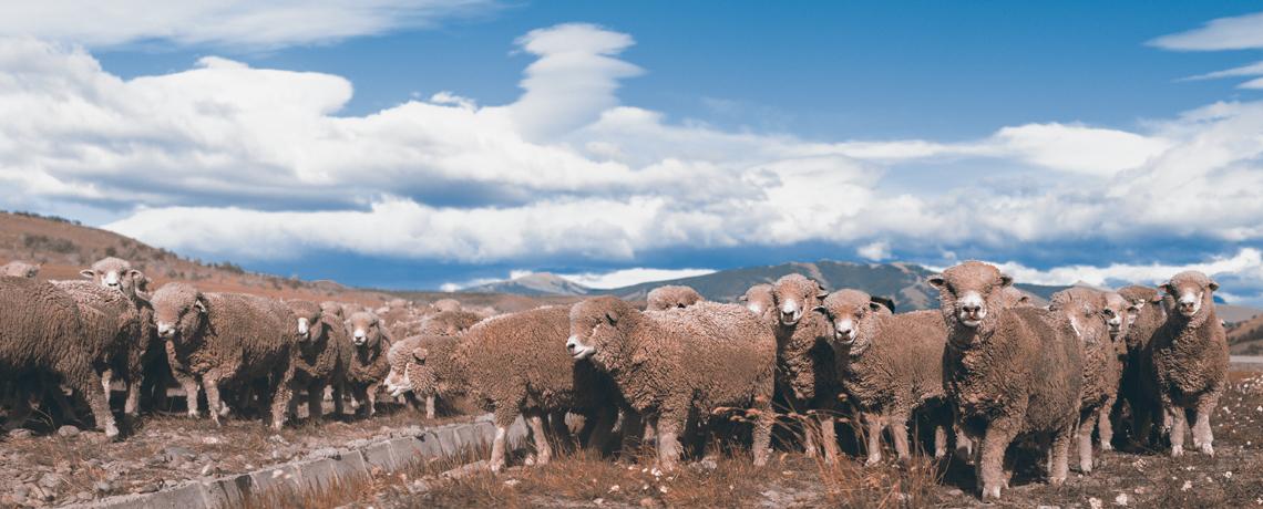 Torres del Paine - Schafe