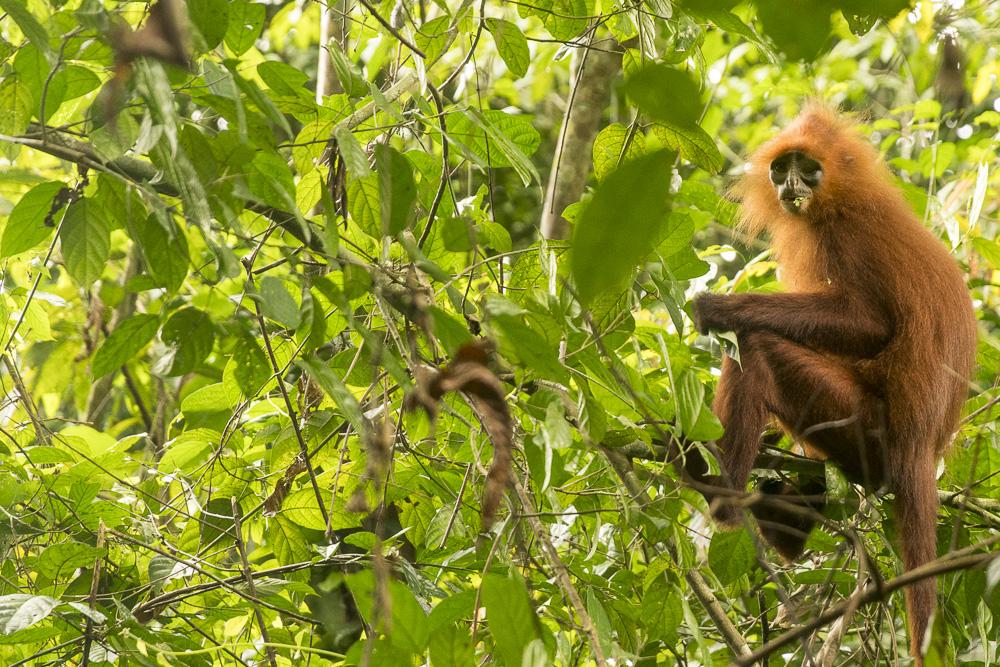 Red Leaf Monkey Gomantong Mountain Hike © PhotoTravelNomads.com