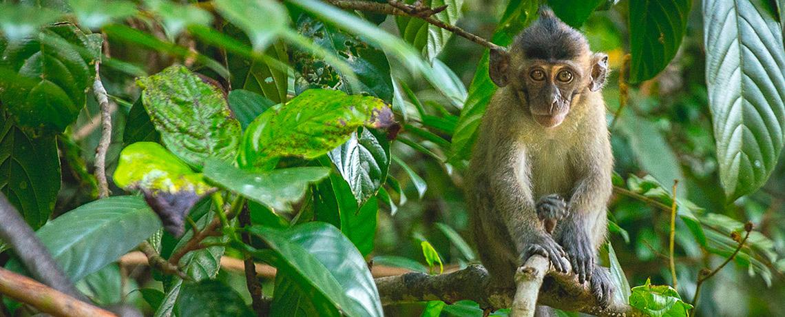 Makaken Affe in Borneo Kinabantang River © PhotoTravelNomads.com