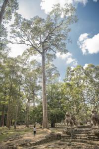 Siem Reap - Bäume bei Angkor Wat © PhotoTravelNomads.com