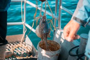 Haitauchen: Thunfisch wird zu Öl zermahlen