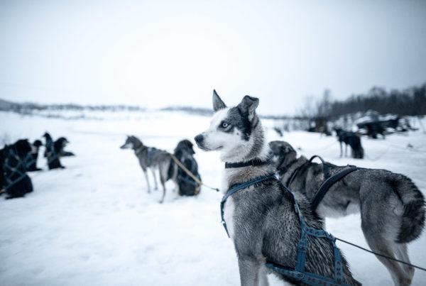 Husky Dog Sledding in Tromso