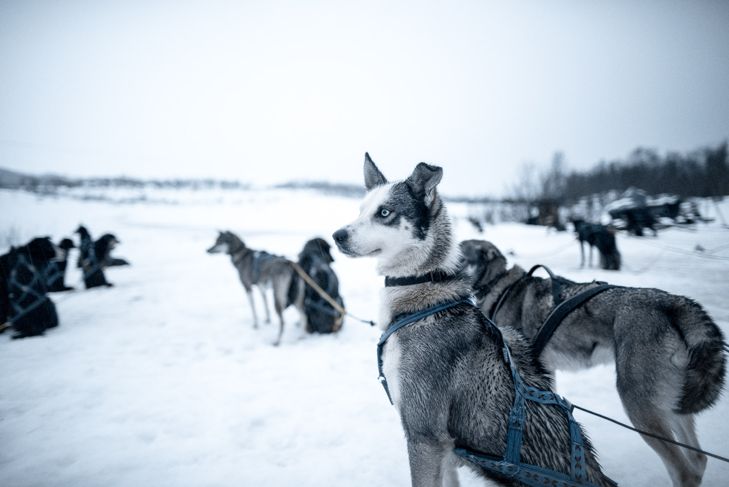 Husky Dog Sledding in Tromso