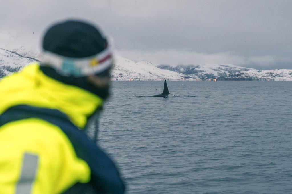 Killerwales Tromsø