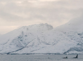 Orca Whale Watching Tromsø © phototravelnomads.com