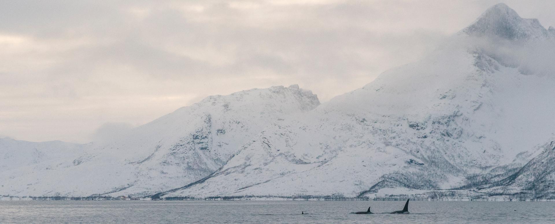 Orca Whale Watching Tromsø ©phototravelnomads.com