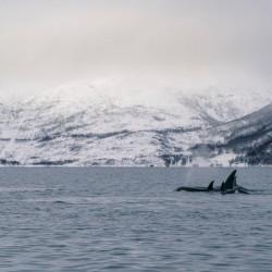 Tromsø Orca Watching