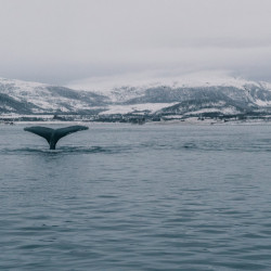 Tromsø Whale Watching