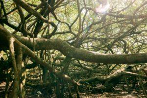 Vietnamesischer Baum Gian Gia Si